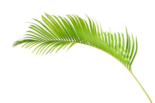 Yellow palm leaves, Golden cane palm, Areca palm leaves, Tropical foliage isolated on white background with clipping path