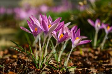Krokus Frühblüher Frühling Crocus Blüten Nektar Ostern Nahaufnahme Garten Pollen Staubgefäße Gewürz Safran Sonne lila pink magenta Wiese Froschperspektive Makro Details Boden