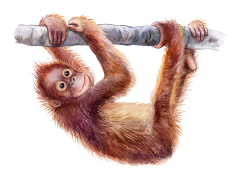 Orangutan baby. Realistic red monkey on tree colorful isolated on white background. Watercolor. Illustration. Template. Close-up. Clip art. Hand drawing. Painting