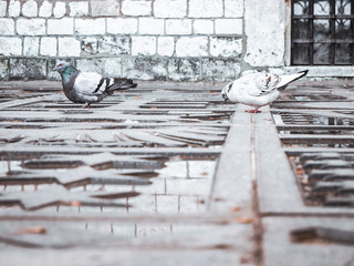 Two pigeons drinking water