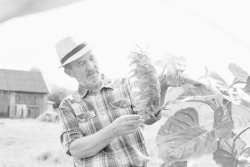 Black and white photo of Senior farmer looking at sunflower growing in field