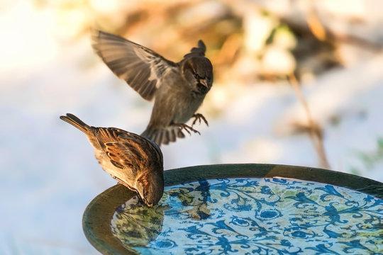 Sparrows using a birdbath