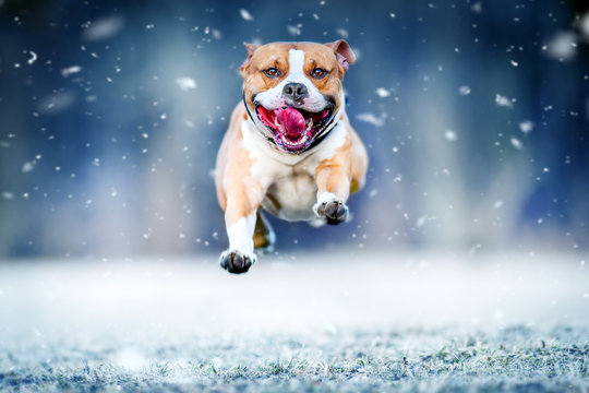 American staford terrier jump in high speed in winter snow. Dog run or fly toward to photo camera.
