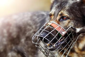 Dangerous dog german shepherde with muzzle portrait or head detail. Wall mural