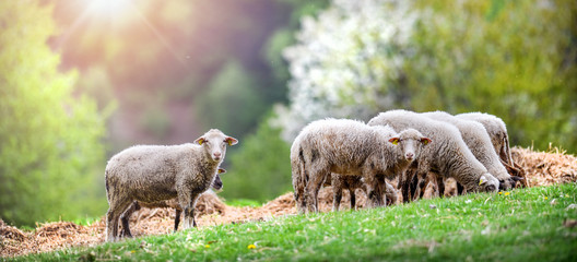 Keuken foto achterwand Pistache Sheeps group and lambs on a meadow with green grass. Flock of sheep in sun rays spring background.