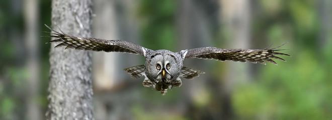 Great grey owl in flight Fotomurales