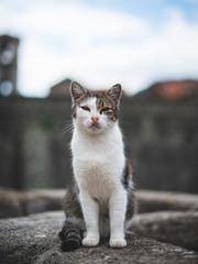 Gato posando para foto na muralha da cidade de Kotor em Montenegro. Chamada de cidade dos gatos.