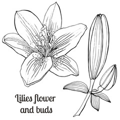 Beautiful hand-drawn lilies and leaves. Vector botanical illustration.