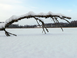 beautiful winter picture with white snow-covered tree in the middle of the field, sunny winter day