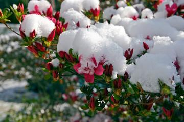 Aluminium Prints Azalea Snow Covered Azalea Flowers As the Seasons Change