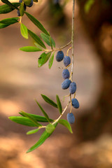 Olive Branches with Green Olives and Black Olives