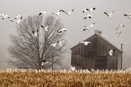 Snow Geese land to feed in a harvested corn field in Eastern Pennsylvania during the Spring migration.