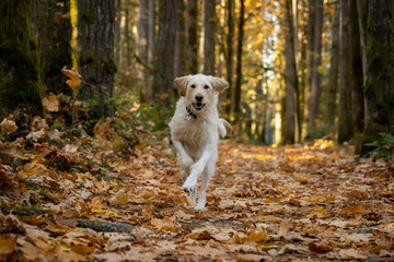 Yellow labrador dog running in the forest