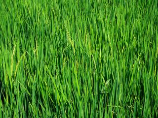 Spoed Foto op Canvas Olijf Green rice field in Bali