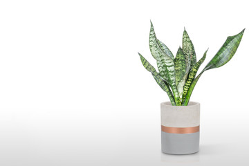 Sansevieria plant in pot on white table
