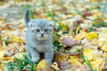 Cute small fold scottish kitten in the grass with yellow fallen leaves in autumn close-up.
