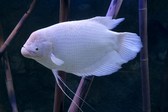 White Giant gourami fish Osphronemus goramy in aquarium tank.