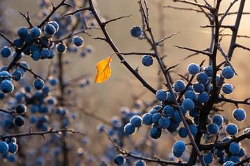 Last yellow leaf on a blackthorn bush
