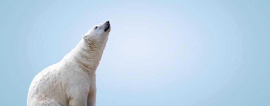 white polar bear over gray background, panoramic mock up image