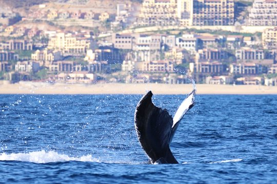 Landscape shot of beautiful whale tail in blue body of water with mountain city in background.