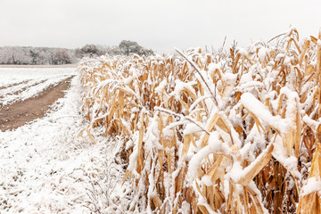 Close-up of the edge of a snow covered standing field of corn along a farm lane.