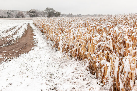 A farm lane along a snow covered standing field of corn.