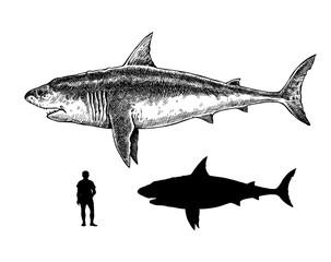 Comparison between humans, white shark and megalodon. Big shark drawing. Monster megalodon illustration.