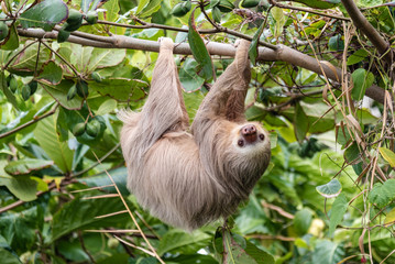 Hoffman's Two-toed Sloth (Choloepus Hoffmanni) in the wild, Cahuita, forest of Costa Rica, Latin America