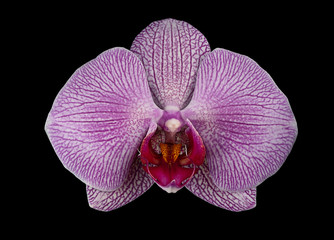 Single Pink Orchid Flower on Black Background