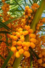 Orange Palm Fruits - Canary Date Palm.