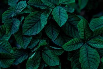 Wall Mural - green leaf natural for background, tropical leaf, tiny green leaf