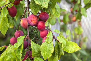 Harvest theme, red plums on a branch, space for text