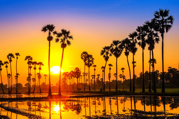 Sugar palm trees on the paddy field in sunrise, Pathum Thani Province, Thailand