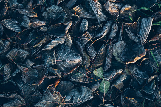 Background of autumn leaves in the frost to october or november