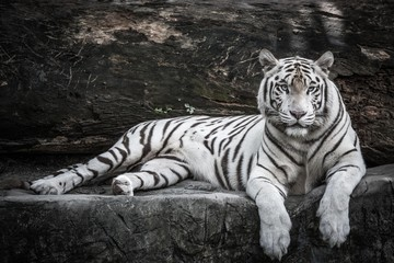Poster de jardin Tigre beautiful portrait of white bengal tiger in wildlife