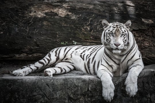 beautiful portrait of white bengal tiger in wildlife