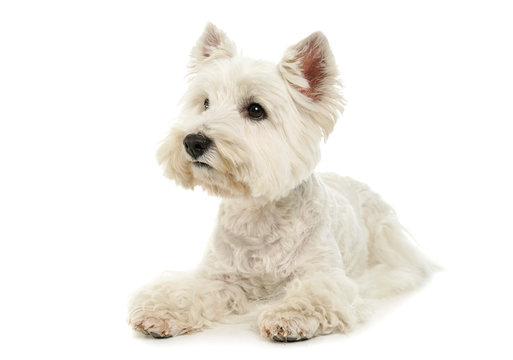 Studio shot of an adorable West Highland White Terrier