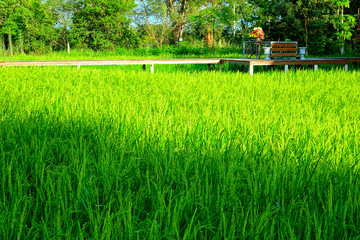 Fotorollo Grun Thailand Khon Kaen Rice Plantation