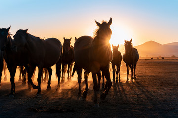 Photo sur cadre textile Chevaux Herd of wild horses silhouette. Very curious and friendly. wild horse portrait