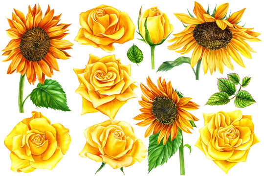 sunflowers and yellow roses on an isolated white background, watercolor illustration, botanical painting