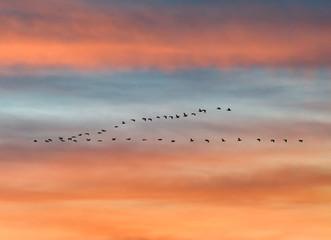 flock of birds flying in v formation against sunset sky