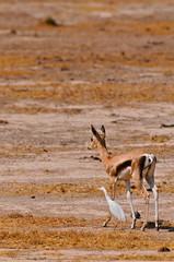 Photo sur Aluminium Antilope antilope