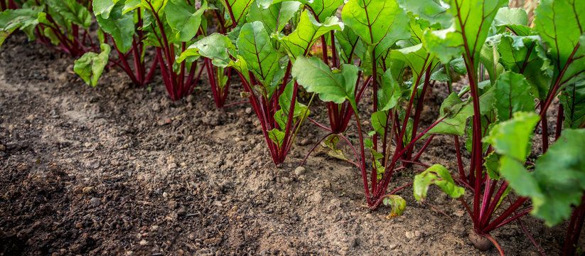 Sprouts of vegetable beet on the garden in the garden against the background of the earth, concept of gardening and harvest with copy space