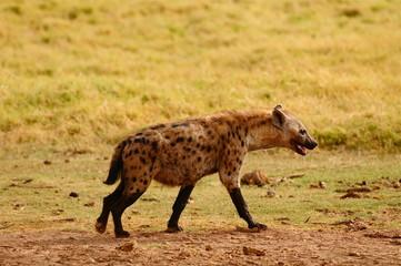 Papiers peints Hyène hyène