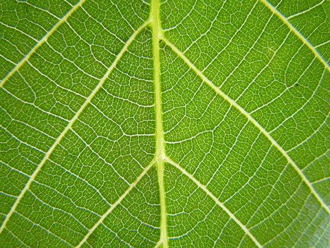 Juglans regia Leaf