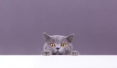 Fototapeta beautiful funny grey British cat peeking out from behind a white table with copy space obraz
