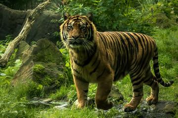 Sumatra tigre on the prowl
