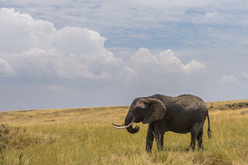 Foto auf AluDibond Elefant Elephant Under Cloudy Skies