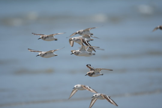 Group of Western Sandpipers flying along the Shore