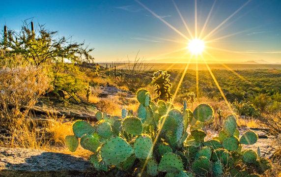 Sonoran Desert Cactus on Hill at Sunset - Saguaro National Park, Arizona, USA
